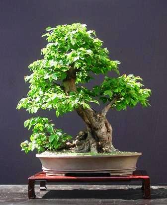 Carpinus betulus bonsai