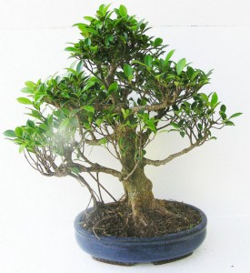 fikus-bonsai.jpg